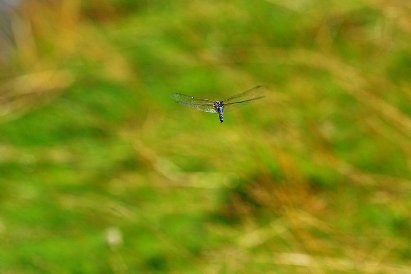 Dragonfly in Flight