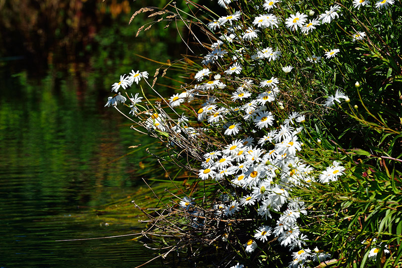 Shasta daisies on pond
